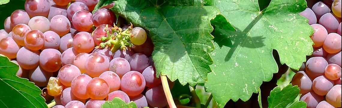 Extrait de pépins de raisin et hypertension