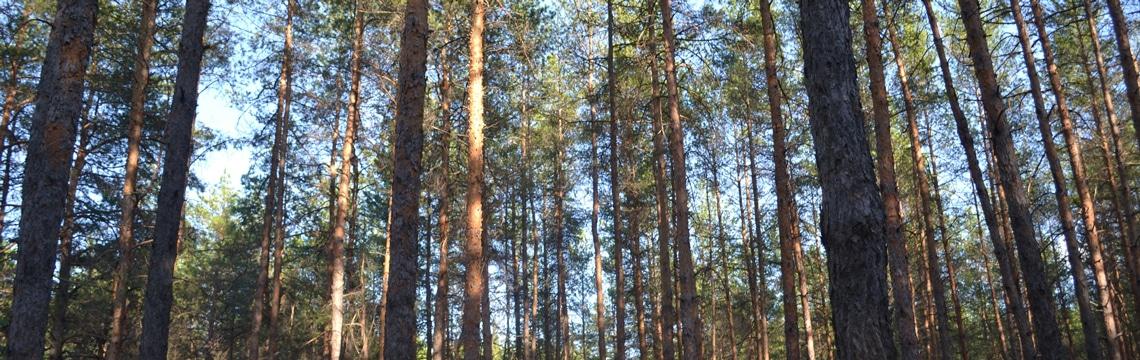 Ecorce de pin et voyages