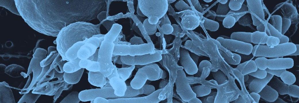 Probiotique et surpoids