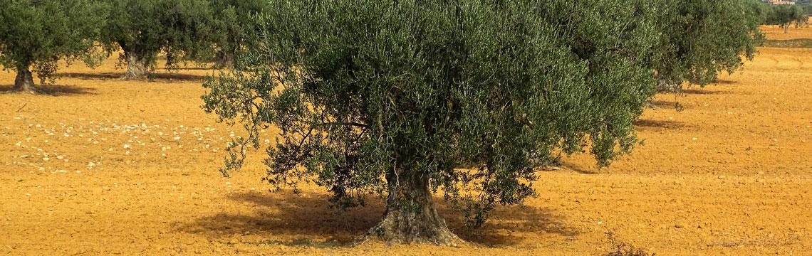 Feuilles d'olivier et sportifs